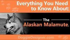 The Alaskan Malamute! Alaskan Klee Kai Puppy, Giant Alaskan Malamute, Alaskan Malamute Puppies, Malamute Dog, Cute Dogs And Puppies, Baby Dogs, Red Siberian Husky, Husky Tattoo, Alaska Cruise Tips