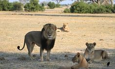 Cecil, un lion de 13 ans avec une crinière noire distinctive, était une attraction touristique populaire au parc national de Hwange