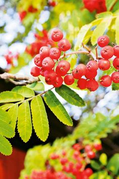 Small Gardens, Rowan, Trees, Fruit, Little Gardens, The Fruit, Home Decor Trees, Wood, Small Backyards