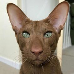 A truly brown cat. Pretty Cats, Beautiful Cats, Animals Beautiful, Cute Baby Animals, Animals And Pets, Funny Animals, Chat Oriental, Kittens Cutest, Cats And Kittens
