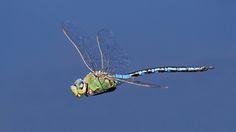 Blue Emporer Dragonfly