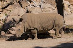 Solo quedan cinco rinocerontes blancos del norte en el mundo / Noticias / SINC