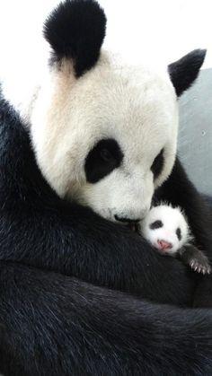 Giant Panda Yuan Yuan cuddles her newborn baby girl Yuan Zai