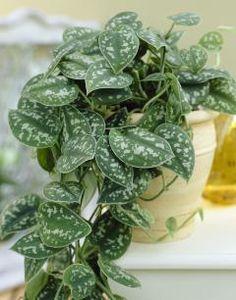 Plante d'intérieur - scindapsus