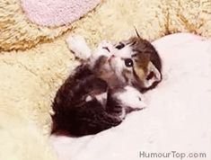 Cute little kitty Kitten gif Cute Kittens, Cute Little Kittens, Kittens And Puppies, Cats And Kittens, Cute Funny Animals, Cute Baby Animals, Animals And Pets, Funny Cats, Beautiful Cats