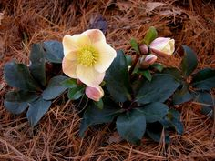 New Hellebore from Carolyns Shade Garden - like the pin needle mulch