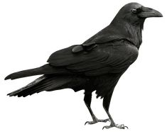 Cool raven transparent - Free Icons and PNG Backgrounds Vogel Silhouette, Crow Images, Raven Bird, Crows Ravens, Artist Management, Kraken, Spirit Animal, Dark Art, Pet Birds