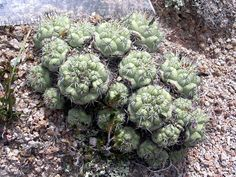 Ortegocactus macdougallii. Southern Mexico native. Ball/clumping shape.