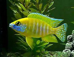 Pictured is a young dominant male Sunshine Peacock cichlid that is starting to show some good