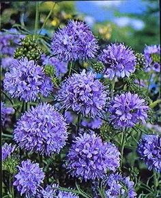 Blue Thimble Flower aka Globe Gilia