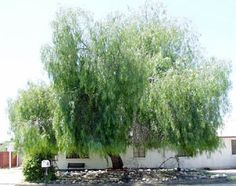 Schinus molle (California Pepper Tree) Water Use: Low, drought tolerant once established Size: – x – Sun: Full sun, Rarely damaged Wildlife Value: Bird habitat Landscaping Plants, Front Yard Landscaping, Trees And Shrubs, Trees To Plant, Sun Catchers, Desert Trees, Pepper Tree, Drought Tolerant Landscape, Garden Trees