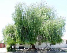 Schinus molle (California Pepper Tree) Water Use: Low, drought tolerant once established Size: – x – Sun: Full sun, Rarely damaged Wildlife Value: Bird habitat