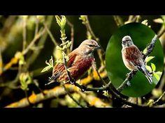 Piękno przyrody - 4k - Czeczotka. - YouTube Bird, Make It Yourself, Pets, Youtube, Animals, Animales, Animaux, Birds, Animal