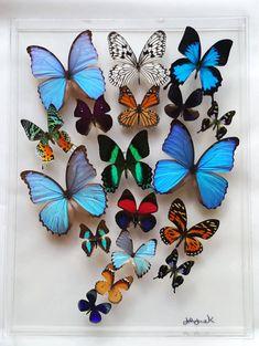 NEW butterfly case, presserved butterflies, framed butterfly butterfly display, mounted butt Butterfly Artwork, Butterfly Frame, Butterfly Wallpaper, Butterfly Crafts, Butterfly Wings, Butterfly Pictures, Butterfly Painting, Butterfly Taxidermy, Disney Phone Wallpaper