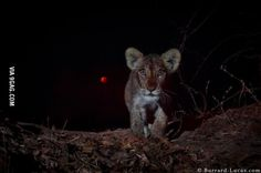 Lion cub and the supermoon eclipse