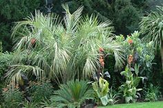 Palm tree and exotic plants in a London garden   Urban Tropics