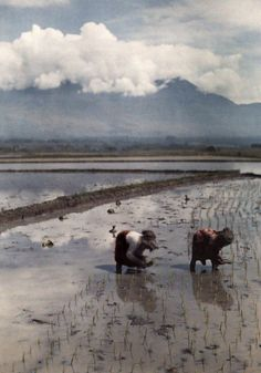 Autochrome: W. Robert Moore. Women wade in the rice field and plant shoots of rice. Java, Indonesia.