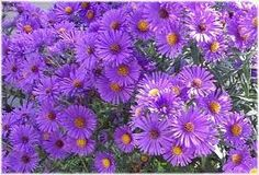 Purple aster (tables?)