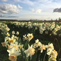 """""""One Narcissus among the ordinary beautiful flowers, one unlike all others""""- Persephone, Falling by Rita Dove It all started one springtime eve in . Spring Aesthetic, Flower Aesthetic, My Flower, Beautiful Flowers, Flowers Nature, Arte Peculiar, Yennefer Of Vengerberg, Plants Are Friends, Land Scape"""