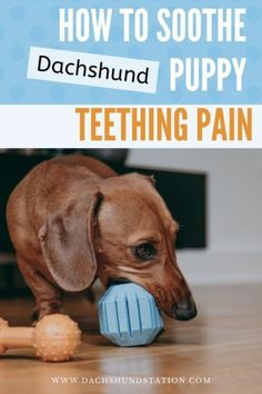 Easy Dachshund Puppy Teething Tips [Full Survival Guide to puppy dog teething] Dachshund Facts, Mini Dachshund, Dachshund Puppies, Baby Puppies, Dachshund Quotes, Dapple Dachshund, Chihuahua Dogs, Pet Dogs, Puppy Teething