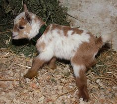 Amber Waves Nigerian Dwarf Goats: Nigerian Dwarf Goats For Sale: They also provide a surprising amount of milk for their size. They can give three to four pounds per day of 6 to 10% butterfat.