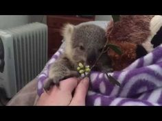 koala joey's most adorable home video of all time - YouTube