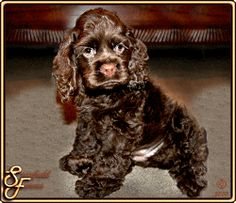 I pinned this one because it looks so much like Artemus as a puppy, except Artemus had gold eyes. So cute. Chocolate is the only color Cocker Spaniel we don't have, lol.