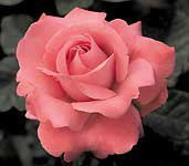 """Roses&Roses&Roses  """"Touch of Class"""""""
