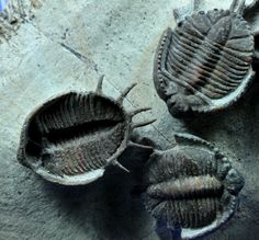 Basseiarges Moroccan Trilobites Mass Mortality Basseiarges mellishae  Trilobites Order Lichida, Family Lichidae, Subfamily Trochurinae Geological Time: Middle Devonian Size (25.4 mm = 1 inch): Trilobite are 23 mm long by 18 mm wide to 30 mm long by 23 mm wide (counting spines), on a 105 mm by 85 mm matrix Fossil Site: Jorf, Morocco