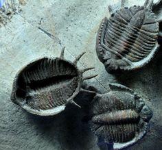 basseiarges-trilobites-c.jpg (800×744)