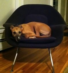 After preventing Ramona from lying on our couch, she decided the womb chair would do just the trick! World Market Chair, Womb Chair, Beach Chair With Canopy, Composite Adirondack Chairs, Mid Century Modern Armchair, Pet Style, Dog Friends, Chair Design, Mid-century Modern