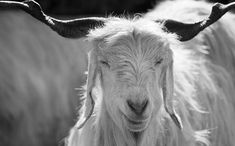 All You Need to Know About Cashmere: A Guide for the 'Connoisseur' – Luca Faloni Creepers, Yarns, Need To Know, Goats, Cashmere, Creatures, Nuthatches, Cashmere Wool, Paisley