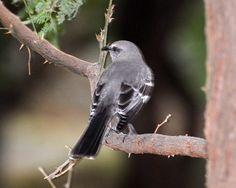 Northern Mockingbird (Mimus polyglottos) native to North America, US Mainland. Introduced in Hawaii Taken at Spencer Beach State Park, Big Island Hawaii