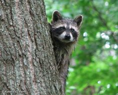RACCOON / Procyon lotor on Fontenelle Forest Nature Search
