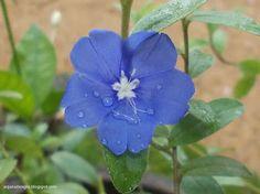 Evolvulus glomeratus (Blue Daze) Family: Convolvulaceae