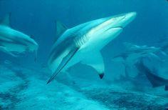 Carcharhinus limbatus (Black-tip Shark), Photo Credit: FishWise Professional/David Snyder, http://eol.org/data_objects/8615550