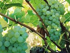 1000 images about grapes table seeded and seedless on for Table grapes zone 6