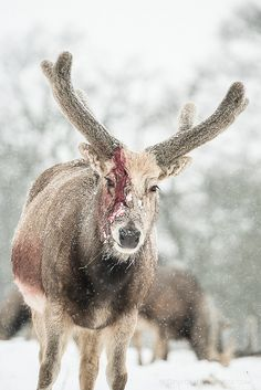 Pere David Deer - Woburn Abbey Deer Park - Bedfordshire, UK