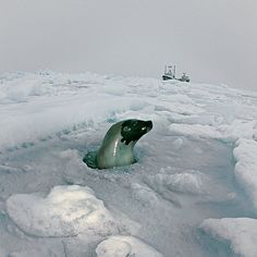 Photo by @BrianSkerry.  A female adult harp seal pops up through the ice to breathe and check on her pup in Canadas Gulf of St. Lawrence. Typically harp seal pups spend two weeks on solid ice after birth before diving into the frigid waters. In the distance the photographers boat and home for weeks at sea rests in the ice.  Sea ice in this region has been declining in recent years and having an impact on the ecosystems that harp seals and other arctic mammals rely on for survival.  For more…