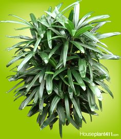 Lady Palm - How to Grow Care - Rhapis Palm Palm Plant Care, Palm Tree Care, Inside Plants, Cool Plants, Air Plants, Air Cleaning Plants, All About Plants, Forever Green, Indoor Trees
