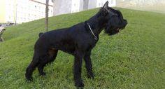 Razas de perros, Terrier Ruso Negro