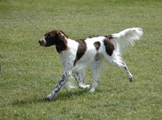 Image detail for -French Spaniel Information and Pictures, French Spaniel