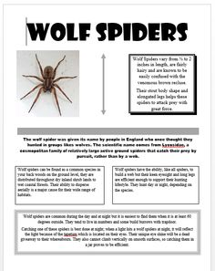 All About Wolf Spiders OLOGIST, the shiny eye thing is really freaky! Common Spiders, Types Of Spiders, Get Rid Of Spiders, Killing Spiders, Spider Traps, Hobo Spider, Spider Identification, All About Wolves, Scary Bugs