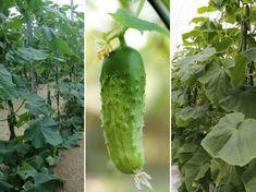 Visszavágjam-e az uborka indáját? Lombok, Pickles, Cucumber, Vegetables, Garden, Garten, Lawn And Garden, Vegetable Recipes, Gardens