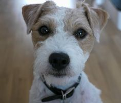 Rio Parson Russell Terrier | Pawshake