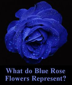 169 Best Blue Roses Images In 2019 Blue Roses Beautiful Flowers