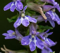 Lobelia puberula - Downy Blue Lobelia - moist, sandy, low woods
