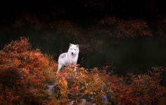 autumn_wolf_trees_fall_white_animals_dogs_hd-wallpaper-1863264.jpg (1600×1020)