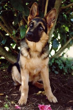 GSD - I love German Shepherds - I just hate the way their back legs are bred to be.  This one's a little sweetie,cr