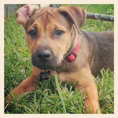 Gunner - a russell terrier, boxer, korean jindo mix
